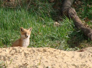 Young fox watching lambs