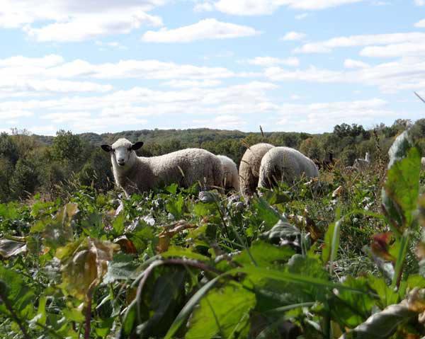 Lambs in fall turnip field