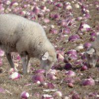 lambs nibbling turnips