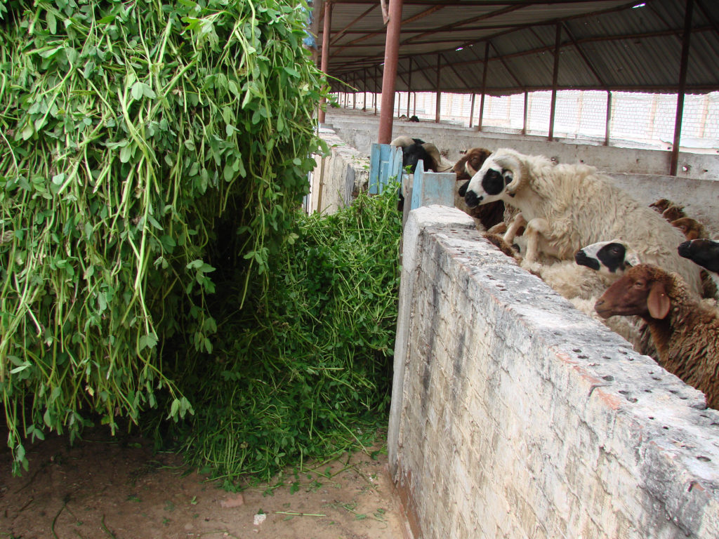 Ewe reaching for feed