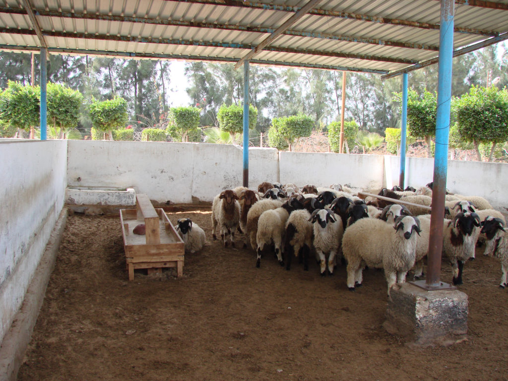 Sheep wait for release to fields