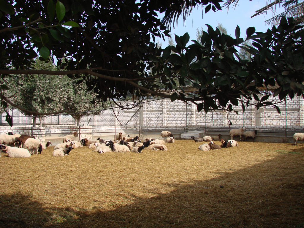 Sheep in Confinement Egypt