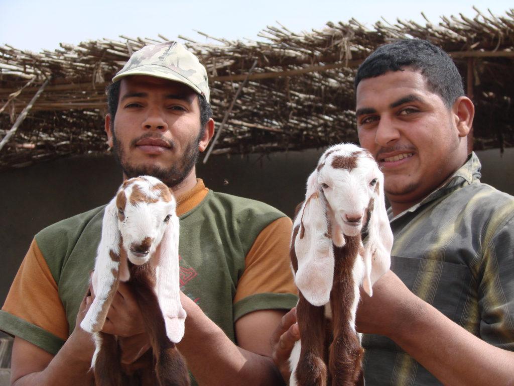 Twin Zaraibi goats
