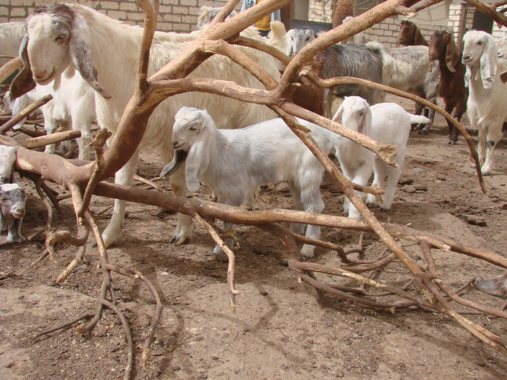 Egypt Zaraibi dairy goat and young