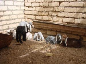 Young Egyptian Zaraibi goats