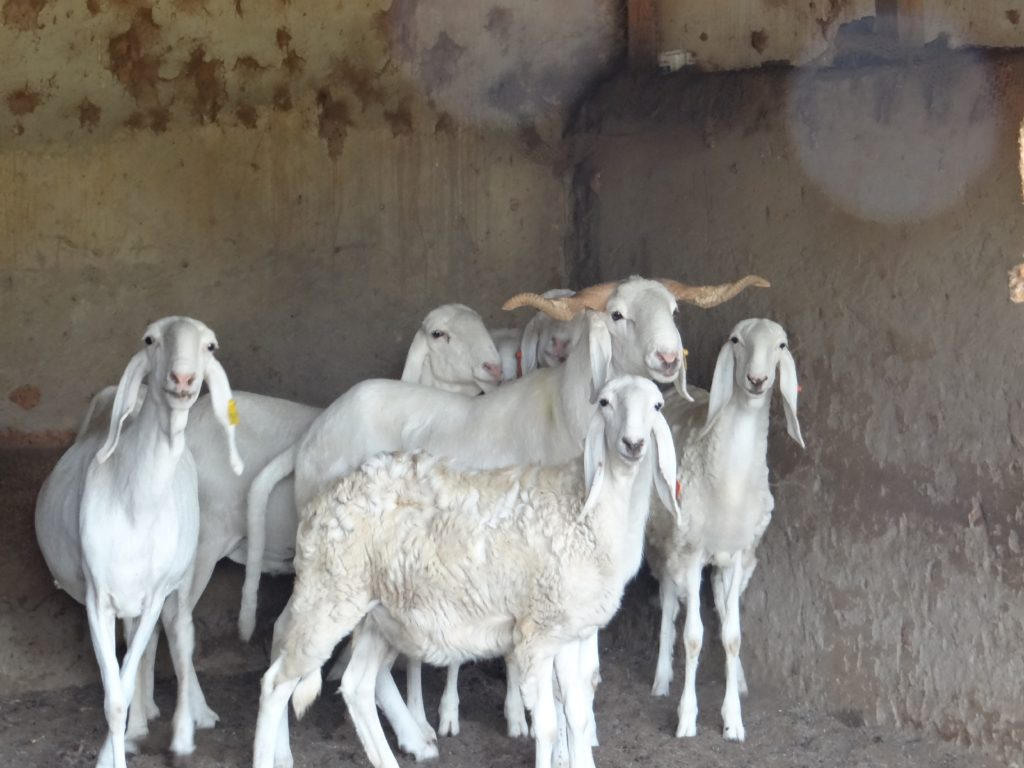 Bali Bali Sheep Posing
