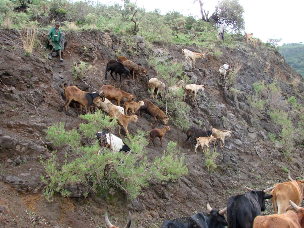 Young child herding flock down cliff