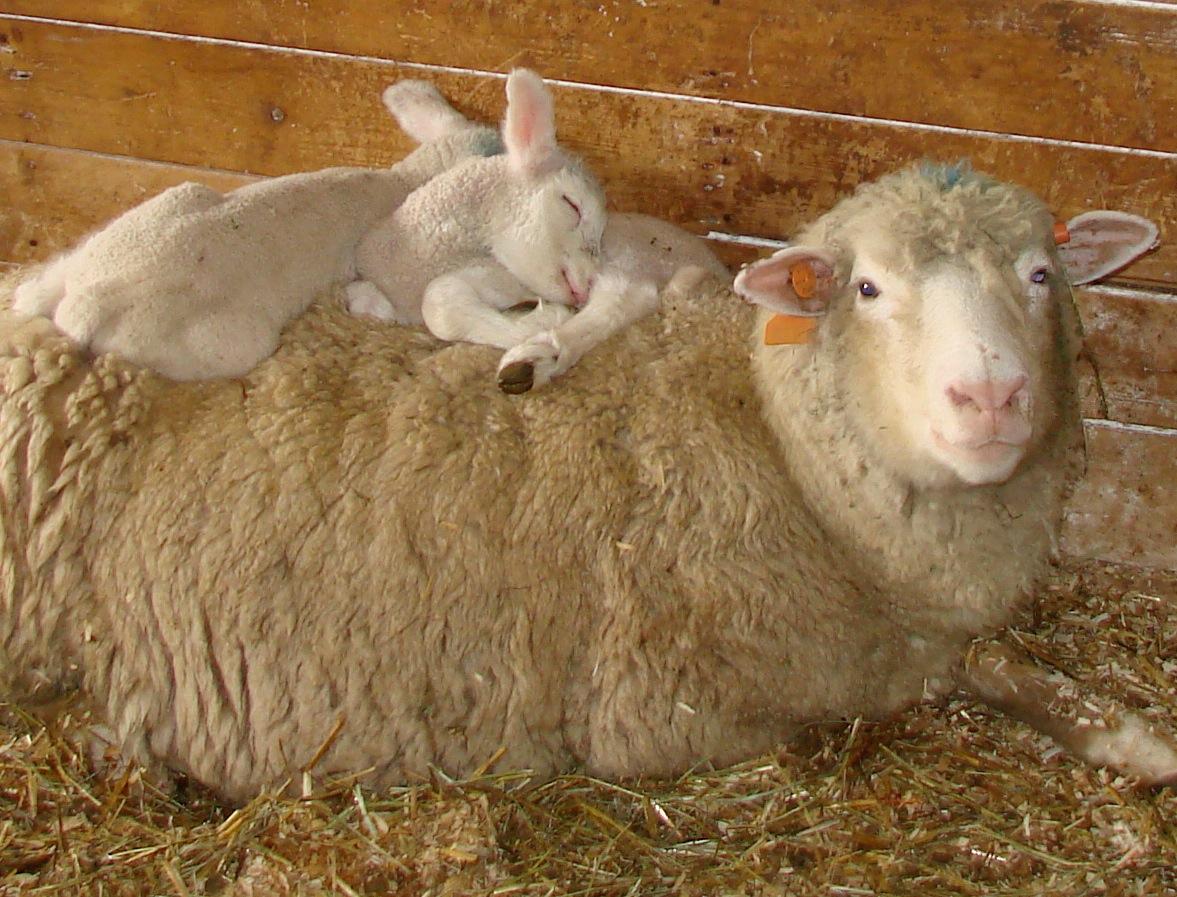 Warm lambs on ewe