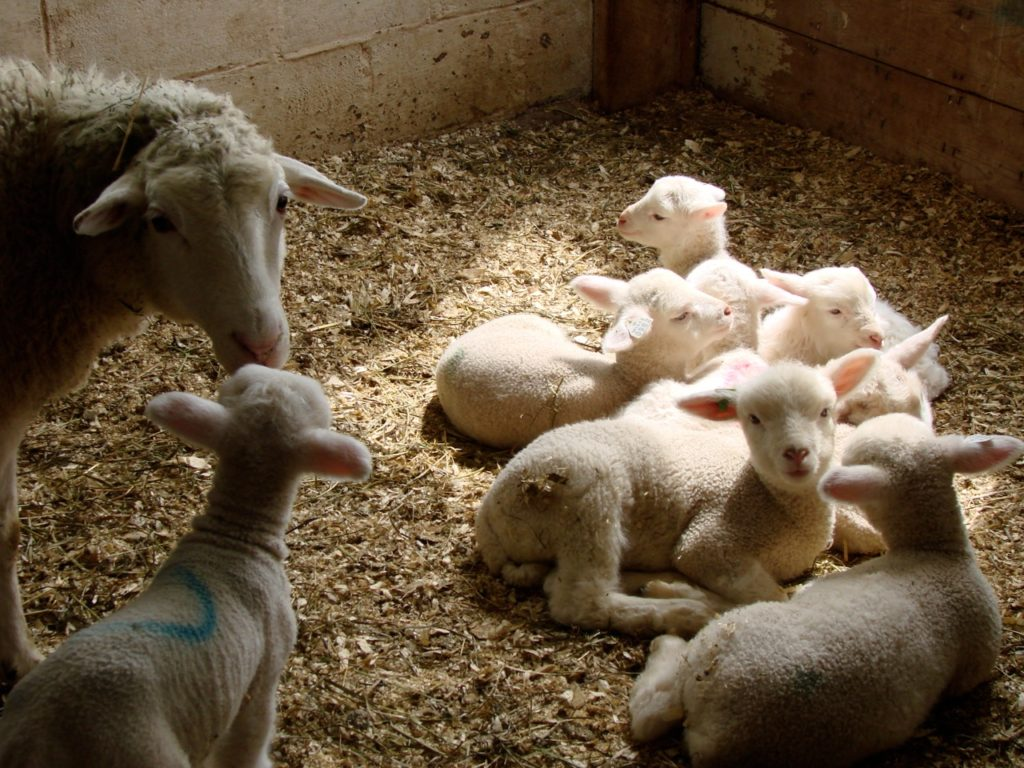 Lambs sleeping in sunlight