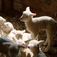Stretching Lamb