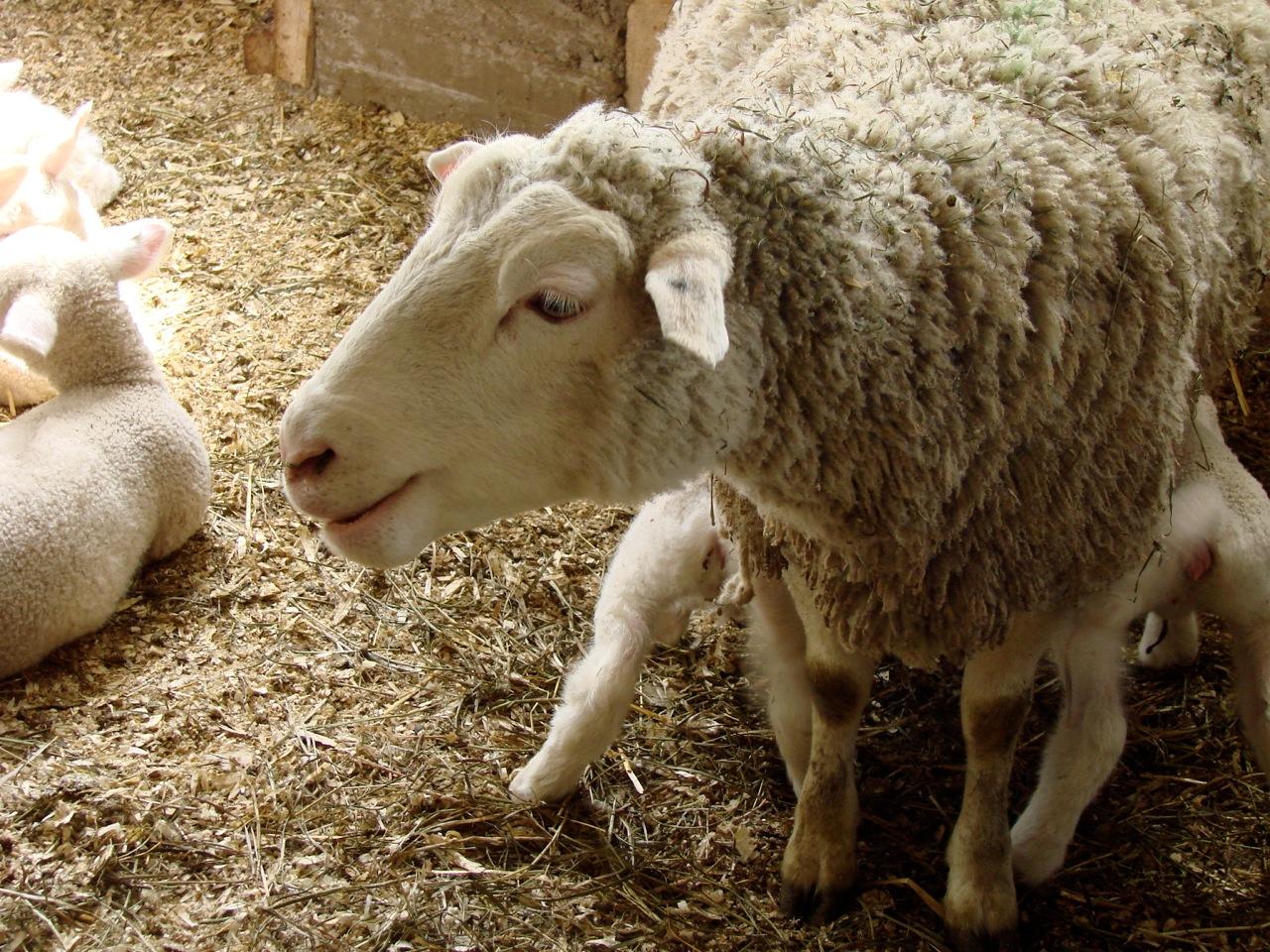 Spring Lambs Sleeping in Thick Wool