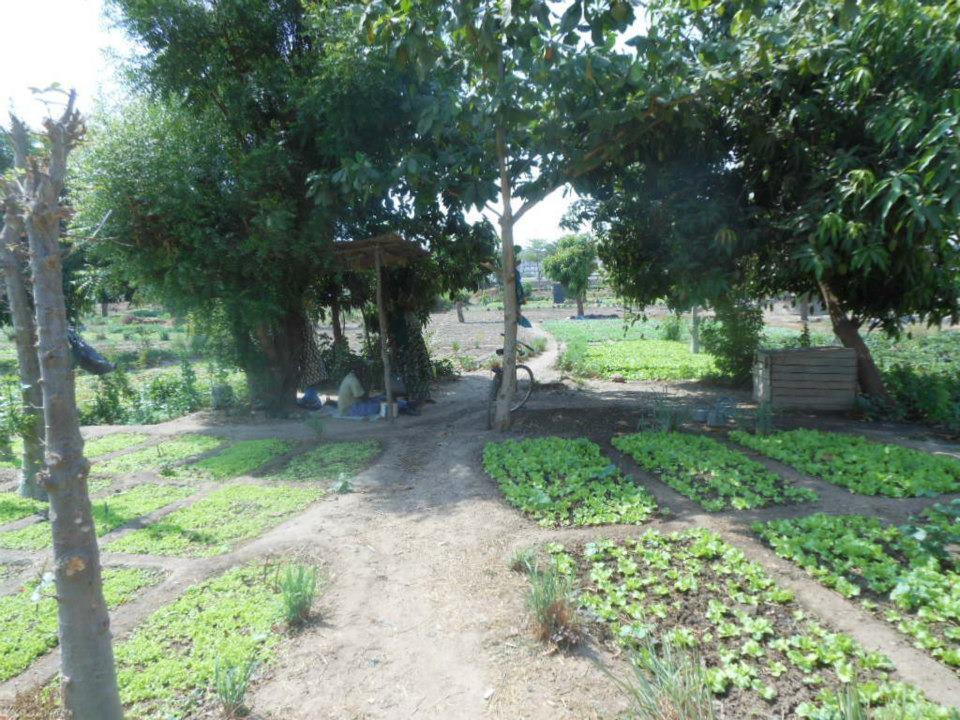 Salad garden Bamako