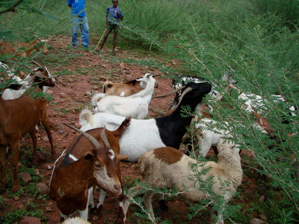 Ethiopian Highland Goats