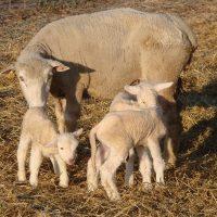 Ewe checking newborn lambs