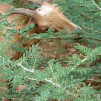 Goat eating around thorns in Ethiopia