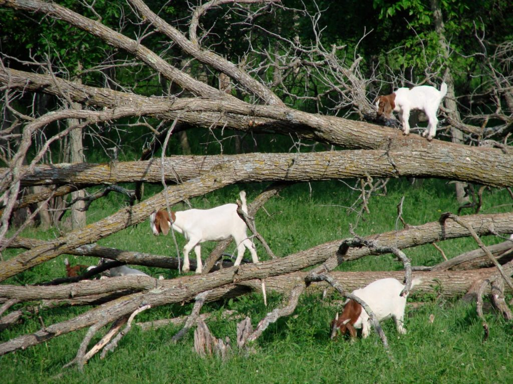 Goats playing in tree