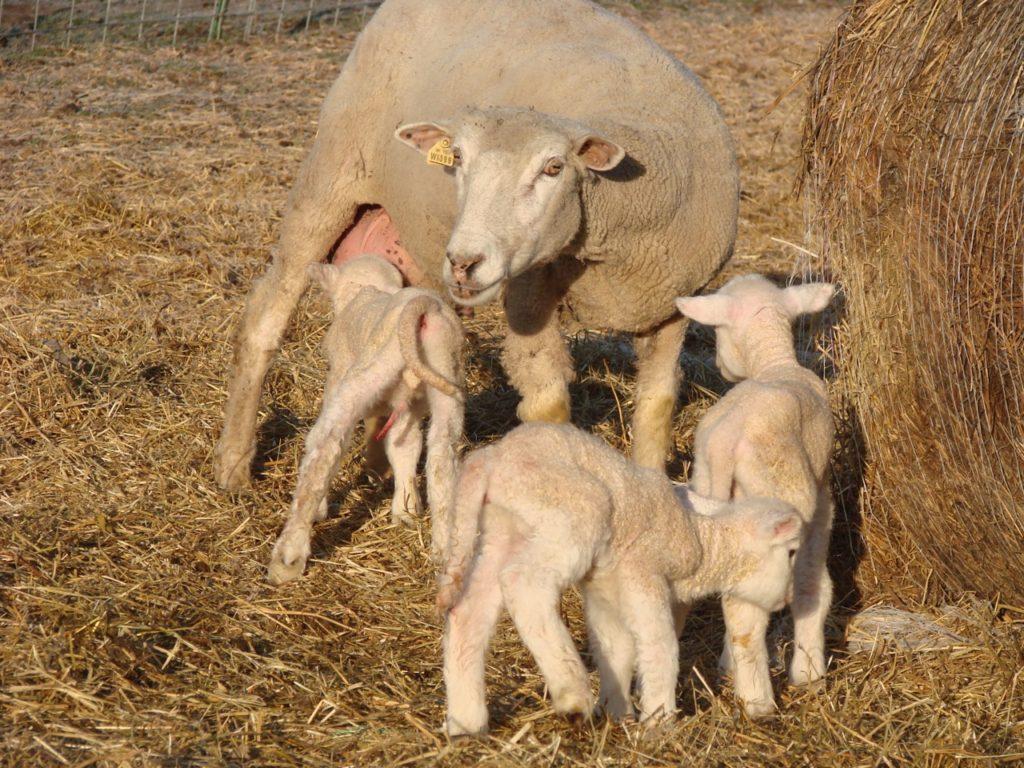Lambs milking