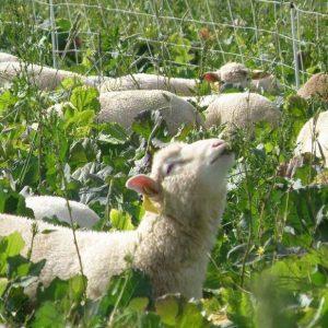 lamb choosing best bite