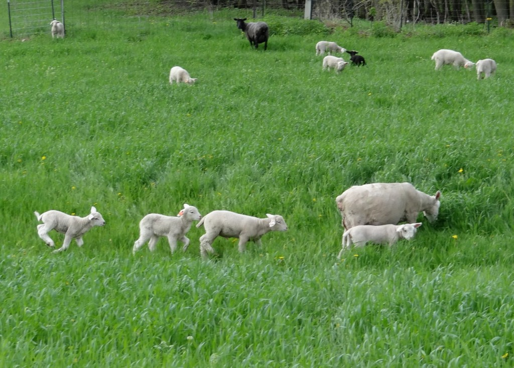 Ewes and lambs in spring pasture or winter rye grass
