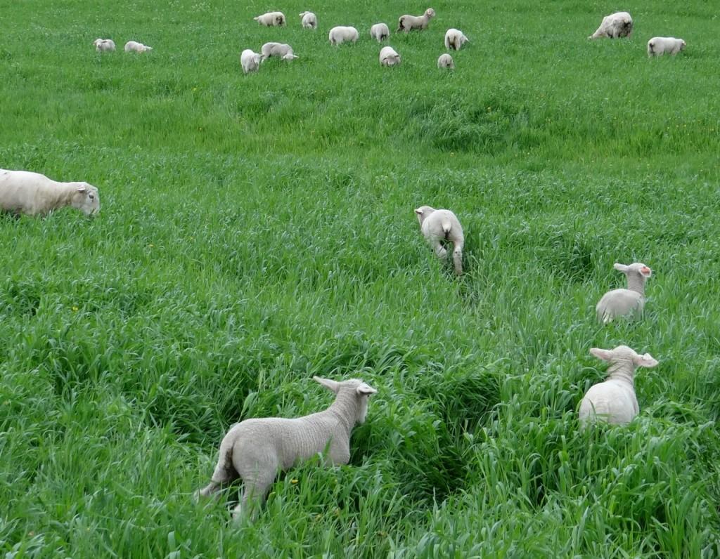 Lambs neck high in winter rye grass