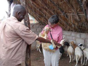 Examining young goat at Lofine