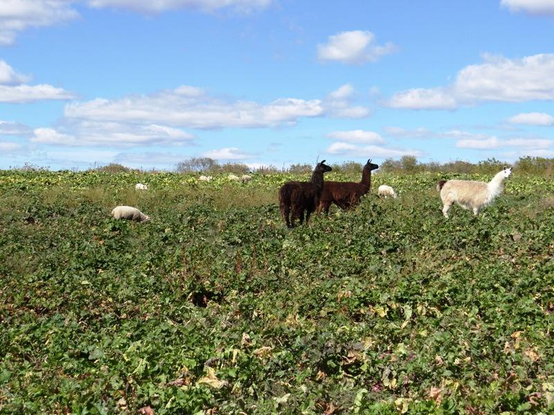 Llama guardians overlook field
