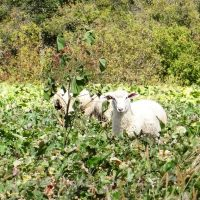 Lambs in turnip field