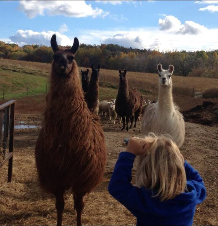 Here come the llamas