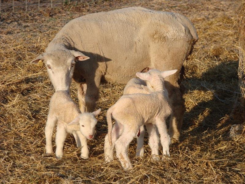 Ewe and newborn lambs
