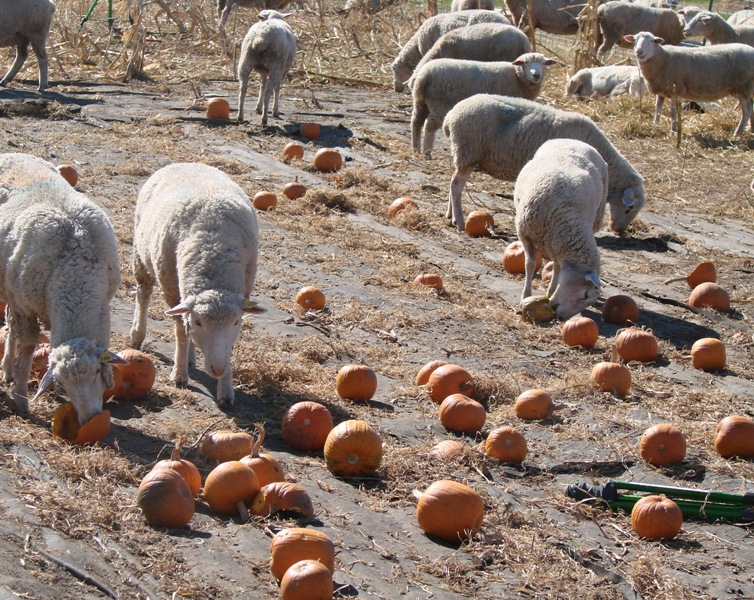 Ewes eating pumpkins