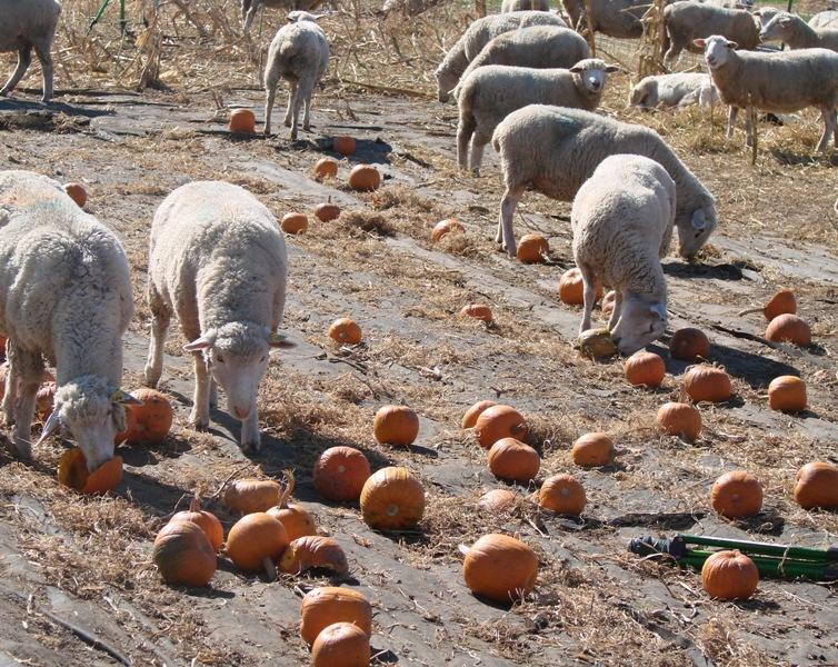 Ewes eating pumpkins