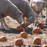 Ewes fighting over pumpkins