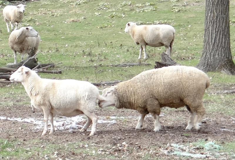 Ram and ewe preparing to mate