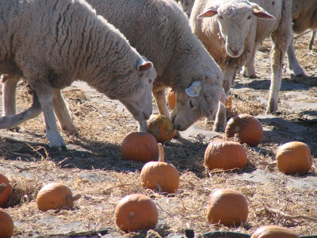 Sheep in the Pumpkin Patch