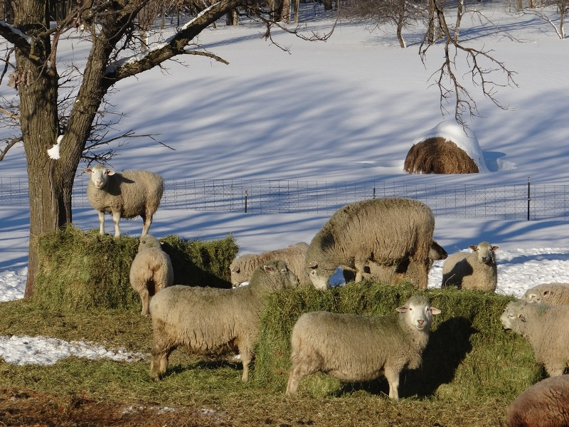 Ewes and their bales