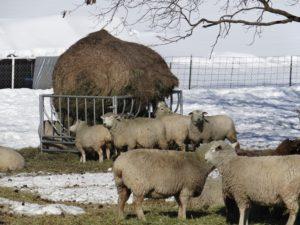 Ewes around new round bale feeder
