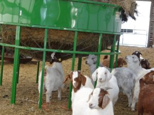 Goat kids eating from below the bale