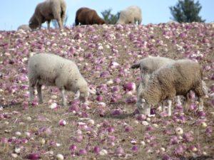 Lambs Harvesting Turnips