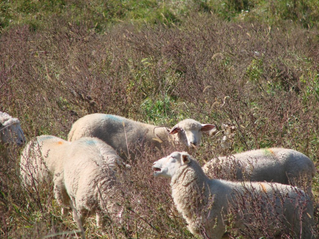 Lambs selecting browse