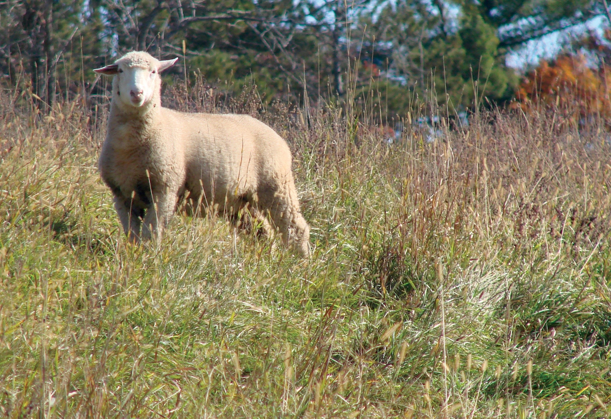 Lamb on native grass pasture