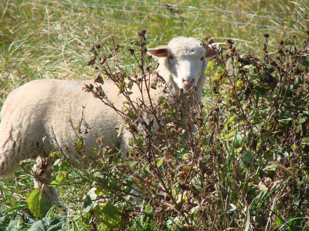 Lamb natural browse