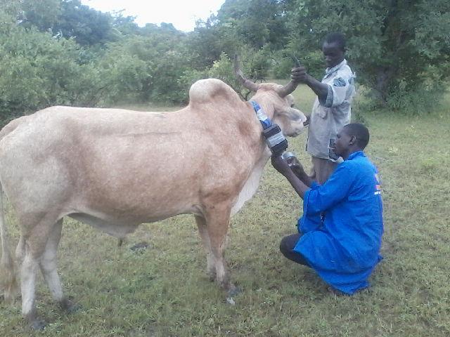 Attaching GPS Collar Cattle