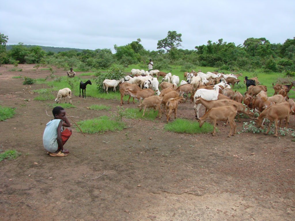 Children tending sheep and goats in Mali