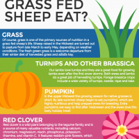 What do grass fed sheep eat infographic