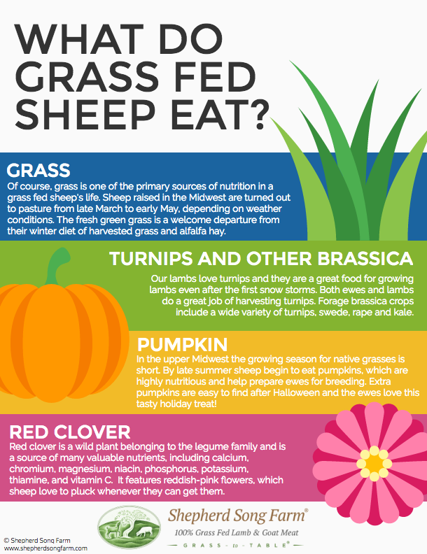 Grassfed sheep infographic