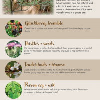 What do goats eat infographic