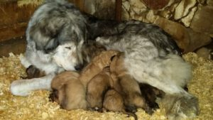 Dog Molly with her puppies