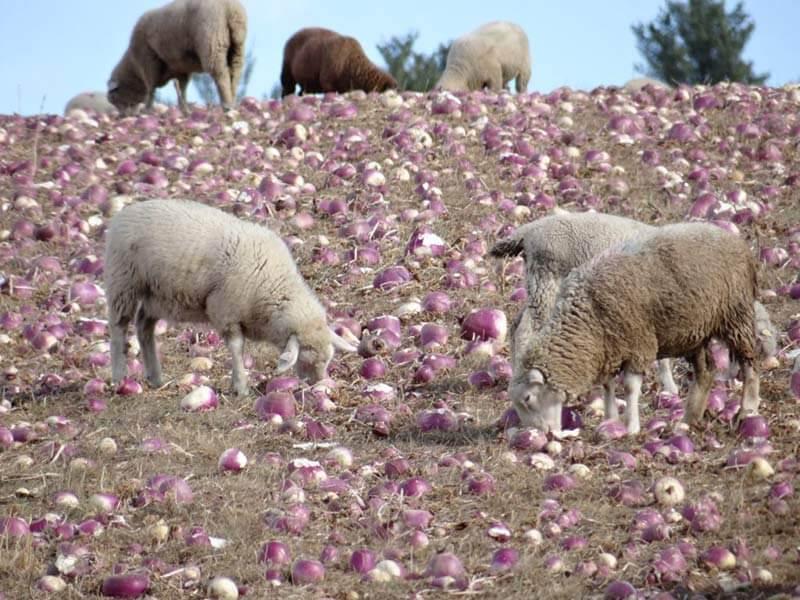 Lambs in the turnips