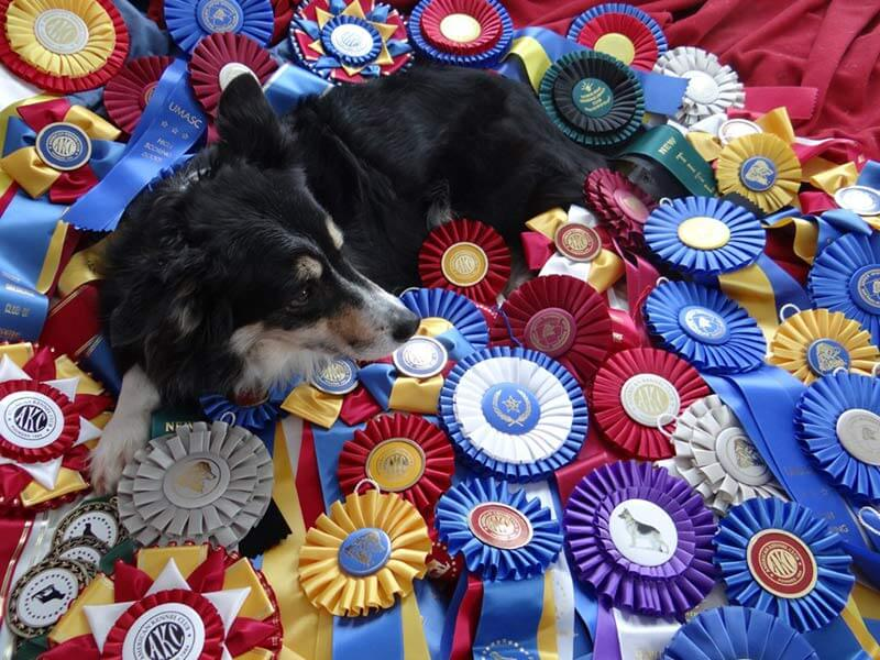 Mist, border collie, unimpressed with her ribbons