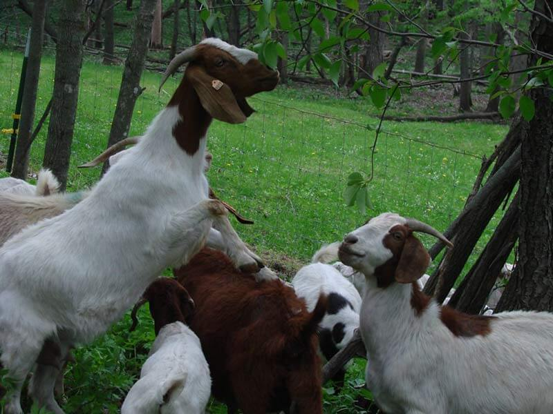 Grass fed goat eating leaves